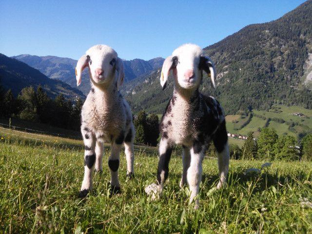 Biohof Maurachgut-Tiere-Schafe.jpg